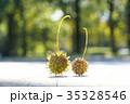 プラタナス スズカケノキ 集合果の写真 35328546