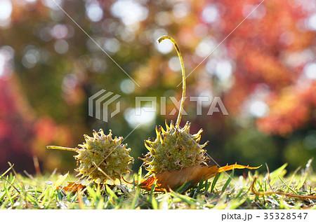 プラタナス(スズカケノキ)のまだ緑の集合果球-3 35328547