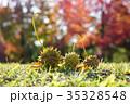 プラタナス スズカケノキ 集合果の写真 35328548