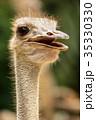 くちばし クチバシ 嘴の写真 35330330