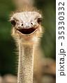 くちばし クチバシ 嘴の写真 35330332