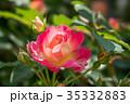 バラ科 花 薔薇の写真 35332883