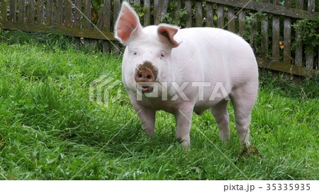 Pink Pig Walks and Eats Roots on a Green Meadow in 35335935