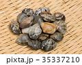浅蜊 二枚貝 殻付きの写真 35337210