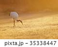 朝日で輝く草原と丹頂鶴(北海道・鶴居) 35338447