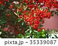 植物 実 ピラカンサスの写真 35339087