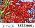 植物 実 ピラカンサスの写真 35339091