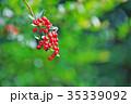 植物 実 ピラカンサスの写真 35339092