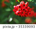 植物 実 ピラカンサスの写真 35339093