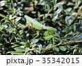 虫 カマキリ 成虫の写真 35342015
