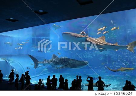 沖縄美ら海水族館の大水槽で泳ぐジンベエザメたち 35346024