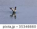 鳥 キンクロハジロ 鴨の写真 35346660