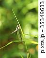 オオツノトンボ 昆虫 虫の写真 35349633