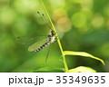 オオツノトンボ 昆虫 虫の写真 35349635