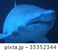 サメ(シロワニ) 35352344