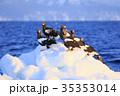 流氷とオオワシ 35353014