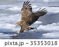 オジロワシ 35353018