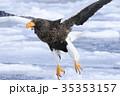 オオワシ 35353157