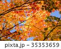 もみじ 楓 紅葉の写真 35353659