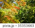 もみじ 楓 紅葉の写真 35353663