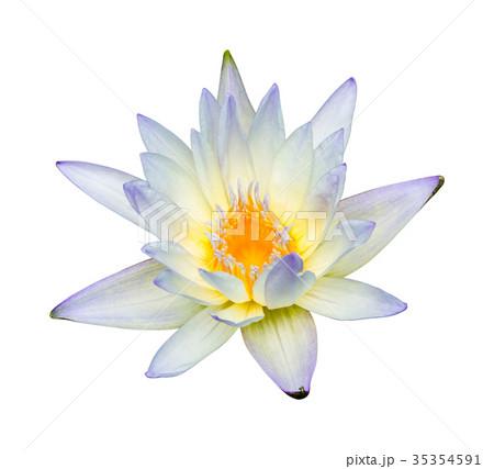 Water lily or lotus flowerの写真素材 [35354591] - PIXTA