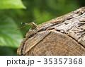 シオカラトンボ トンボ 昆虫の写真 35357368