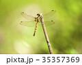 シオカラトンボ トンボ 虫の写真 35357369