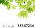 新緑 楓 若葉の写真 35367239