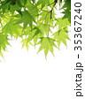 新緑 楓 若葉の写真 35367240