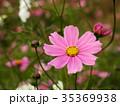 コスモス 花 桃色の写真 35369938