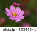 コスモス 花 桃色の写真 35369941