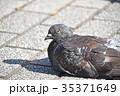 ドバト ハト 野鳥の写真 35371649