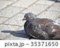 ドバト ハト 野鳥の写真 35371650