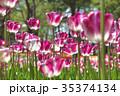 茨城県国営ひたち海浜公園のチューリップ 35374134