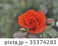 茨城県国営ひたち海浜公園の薔薇一輪 35374283