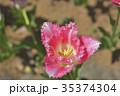 茨城県国営ひたち海浜公園のチューリップ 35374304