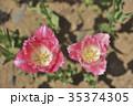 茨城県国営ひたち海浜公園のチューリップ 35374305