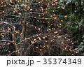 柿の木 柿 木の実の写真 35374349