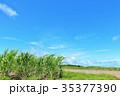 青空 サトウキビ サトウキビ畑の写真 35377390