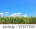青空 サトウキビ サトウキビ畑の写真 35377393