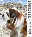 Bernardine dog in Swiss Alps 35378695