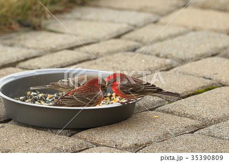 野鳥 ハウスフィンチ 赤いスズメ (アメリカ) 35390809