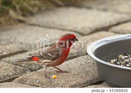 野鳥 ハウスフィンチ 赤いスズメ (アメリカ) 35390820