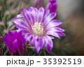 サボテン 花 植物の写真 35392519
