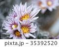 サボテン 花 植物の写真 35392520