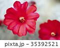 サボテン 花 植物の写真 35392521