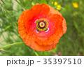 オレンジのポピー 35397510