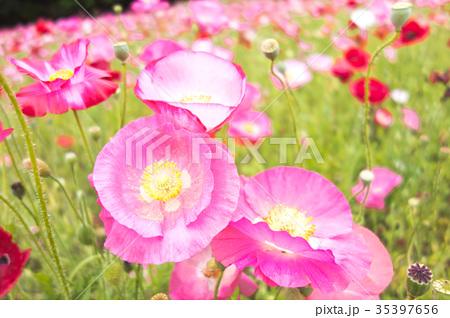 ピンクのポピー 35397656