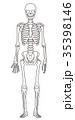 骨格 骨格模型 骨組みのイラスト 35398146