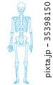 骨格 骨格模型 骨組みのイラスト 35398150